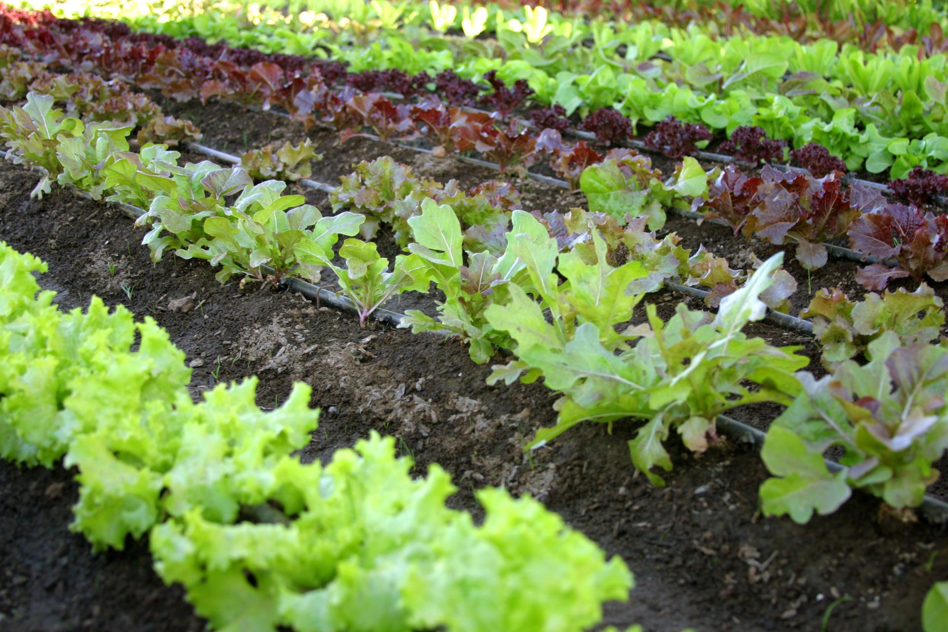 Superieur Organic Vegetable Garden U2013 Ku0026K Superblend Fertilizer For Organic Crops